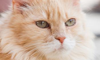 FeLV - Котешка левкемияFeLV - Feline Leukemia Virus