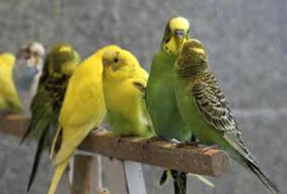 Хранене на вълнисти папагали