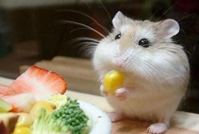 Хранене на хамстерите