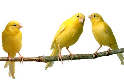 Хранене на канарчетата