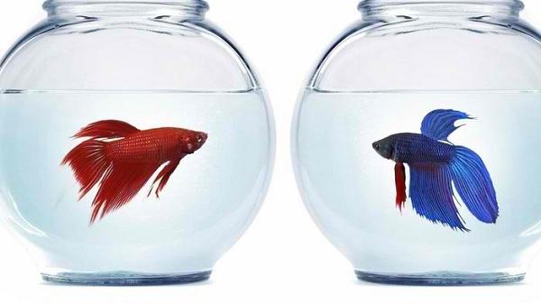 Красивите рибки Бета