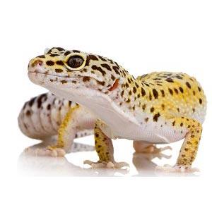 Отглеждане на Леопардов гекон